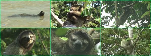 Медленная жизнь. Ленивцы в Панаме / Slow Lofe. Sloths Panama