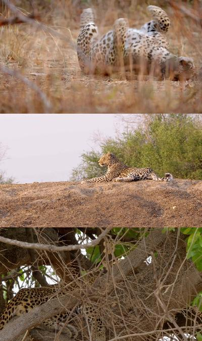 Africas Hunters Series 1 2Of6 A Leopards Last Stand 1080P Hdtv X264 Aac